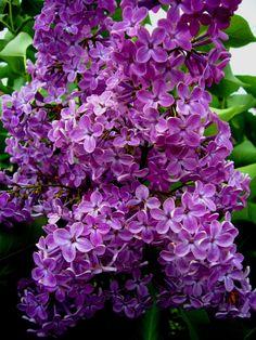 Les lilas sont magnifiques et ils sentent très bon. On en cueille toujours un bouquet pour mettre dans la maison.