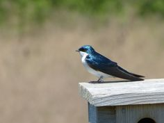 This male Tree Swallow lays his claim to a man made nesting box! Leica V-lux 3 #biggestweek https://www.facebook.com/photo.php?fbid=444660168895694=a.444659055562472.117192.355103211184724=3