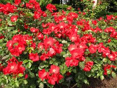 'Robusta' (Rugosa Hybrid)  Kordes, Germany, 1974 - 6', very robust upright plant with dark shiny foliage and large , bright scarlet red single blossoms; recurrent; rich red very thorny cane; dieback possible but generally regarded as quite hardy; f