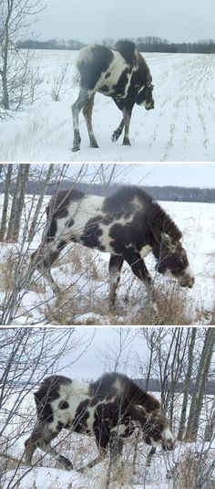 "says: Real - Piebald(also referred to as Pinto) Moose - The link includes these images and the claim by ""breaks hunter"". I got these pics in an email from my uncle today. It said they were taken in Fahler, Alberta, Canada Unusual Animals, Rare Animals, Animals And Pets, Funny Animals, Moose Pictures, Animal Pictures, Beautiful Creatures, Animals Beautiful, Moose Hunting"