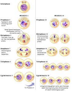 Stages of Meiosis Study Biology, Biology Lessons, Cell Biology, Molecular Biology, Ap Biology, Science Biology, Teaching Biology, Biology College, Science Penguin