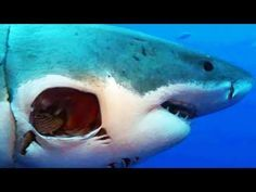 Monster Submarine Sized Shark Caught on Tape 2018 - Dangerously Close Encounters, Collection of Best Shark Pictures, Shark Photos, Underwater Photos, Underwater Photography, Shark In The Ocean, Big Shark, Ocean Creatures, Weird Creatures, Monster Shark