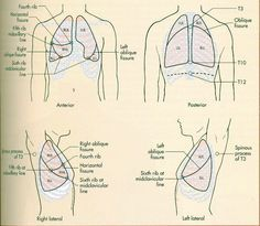 Example Image: Lobes of the Lung | 생명과학 | Pinterest ...