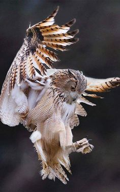 Owl in flight   Beautiful, Awesome Photograph