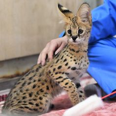 Twitter Animals And Pets, Baby Animals, Funny Animals, Cute Animals, I Love Cats, Big Cats, Cute Cats, Serval Kitten, Bengal Cats