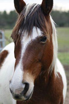 Needlepoint Canvas 14 or 18 count, Horse Portrait, Horse Art - Horses - Pferde All The Pretty Horses, Beautiful Horses, Animals Beautiful, Cute Animals, Cute Horses, Horse Love, Cheval Pie, Horse Portrait, Pencil Portrait