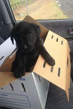 Cute black Labrador puppy
