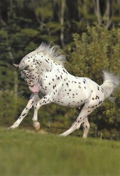 Knabstrupper/appaloosa horse OMGosh, I love NOTHING more than abrupt color in a horse!!!