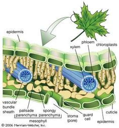 biology notes Learn to Identify Plants-Le - biology Tissue Biology, Biology Art, Biology Lessons, Science Biology, Teaching Biology, Life Science, Cell Biology Notes, Plant Cell Model, Teaching Plants
