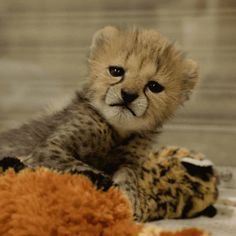 "sdzoo: "" So far, her favorite toy is the stuffed cheetah. Check out this little cheetah's ""tail"": "" Big Cats, Cats And Kittens, Baby Cheetahs, Cheetah Cubs, Small Cat, Hyena, Cute Baby Animals, Cat Day, Mammals"