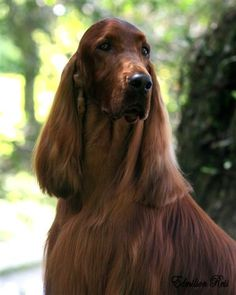 Irish Setter Ch Pendoric Perfect Thyming, this dog has been groomed beautifully