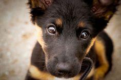German Shepard puppy<3