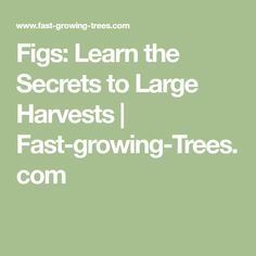 Figs: Learn the Secrets to Large Harvests   Fast-growing-Trees.com