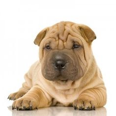 shar pei! One of my favorite breeds... xP