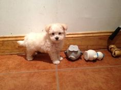 Maltese and poodle mix pups, a. Maltese Poodle, Maltese Dogs, Poodle Mix, Maltipoo Puppies, Dogs And Puppies, Girls Best Friend, Best Friends, Dog Life, Puppy Love