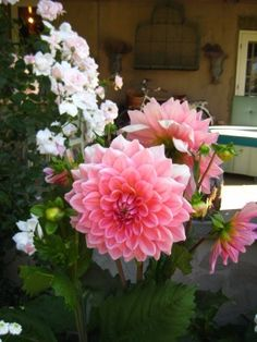Dahlias and roses at Bee Cottage. www.francesschultz.com