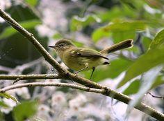 Foto borboletinha-do-mato (Phylloscartes ventralis) por Leonardo Casadei | Wiki Aves - A Enciclopédia das Aves do Brasil