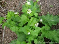 Garlic mustard and burdock growing together. Salad or Cooking Greens: Dandelion Purslane Shepard's Purse Amaranth (seeds can be ground for flour) Curled dock Plantain Wild Mustard Chickweed Wood Sorrel Watercress Garlic mustard