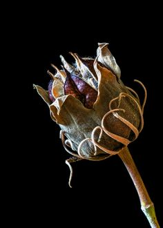 Seed Pod by Judy Richmond - Modern Garden Seeds, Planting Seeds, Planting Flowers, Dry Plants, Nature Plants, Organic Form, Seed Pods, Patterns In Nature, Natural Forms