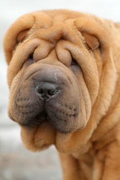 Fantastic Shar Pei Chubby Adorable Dog - c4d87df5dd841f90955a1c583d7155d7--sharpei-dog-shar-pei  Photograph_652972  .jpg