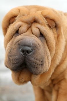 Shar Pei ~ dog with distinctive features of deep wrinkles and black tongue. Breed comes from China.