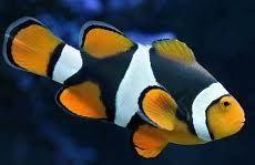 Half Black Percula Clown Fish Marine Fish Safe With Coral Frags Lps And Sps Saltwater Aquarium Fish Clown Fish Saltwater Aquarium