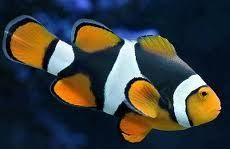 HALF BLACK PERCULA CLOWN FISH marine fish SAFE with coral & frags LPS and SPS