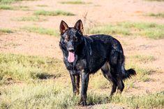 www.elitek-9.com   #germanshepherd #gsd #protectiondogs #exotics #luxurylife #czechshepherd Executive Protection, Working Dogs, German Shepherds, Luxury Life, Dog Training, Puppies, Travel, Animals, Luxury Living