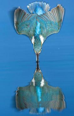 RENOVAÇÃO: Pássaro refletido na hora exata de mergulho rende ...