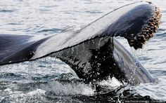 Why Does Japan Go Whaling? | Whale And Dolphin Conservation - June 4, 2013 [Photography: Pablo Negri Edwards - Copyright ©]