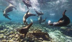 "Galapagos sea lions near Champion, Floreana, Galapagos Islands. / Check it out on ""street view"" here: https://maps.google.com/?ll=-1.239127,-90.38568&spn=0.026923,0.045426&t=m&layer=c&panoid=0yfJCnICQIUAAAQIt--IJw&cbp=13,290.92,,0,0.85&cbll=-1.239102,-90.385656&z=16"