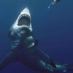 Photo by - greatwhite - whiteshark - shark - requin blanc - ocean - predator Shark Bait, Shark S, Shark Week, Shark Pictures, Shark Photos, Orcas, Types Of Sharks, Small Shark, Fauna Marina