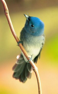 """""""Love recognizes no barriers. It jumps hurdles, leaps fences, penetrates walls to arrive at its destination full of hope."""" Maya Angelou -- image: Black-Naped Blue Flycatcher, Taipei Botanical Garden, Taiwan - John&Fish"""