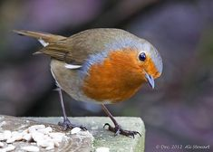 Robin - birds always seem to have expression All Birds, Cute Birds, Pretty Birds, Little Birds, Beautiful Birds, Animals Beautiful, Animals And Pets, Cute Animals, Motifs Animal