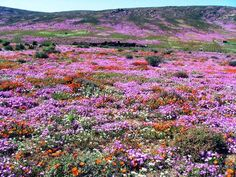Explore the colourful carpet of the Cape flowers during flower season along the West Coast of South Africa. Wild Flowers, Spring Flowers, Meadow Flowers, Purple Flowers, West Coast, Mother Nature, Places To See, South Africa, Beautiful Places