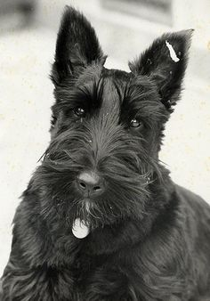 Love Scottie Dogs! Puppy Dog Dogs Puppies Scottish Terrier