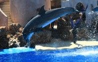 http://www.ecorazzi.com/2013/08/02/video-of-bleeding-dolphin-sparks-more-anger-at-sea-world/