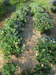 Der Anbau von Erdbeeren gelingt gut mit Miscanthusmulch an Erdbeeren Allotment Plan, Allotment Gardening, Gardening Tips, Stepping Stones, Outdoor Decor, Flowers, Green, Nature, Plants