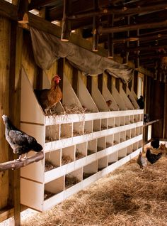 Chicken coop with nesting boxes at Heritage Hen Farm. Though a free range farm, many of the chickens in the flock nest in the plush confines...