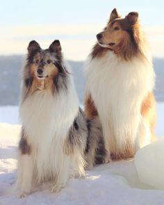 Beautiful Collies!