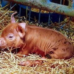 Sleepy Brown-Spotted Piglet