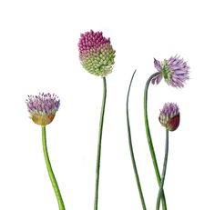 Folio illustration agency, London, UK   Carolyn Jenkins - Watercolour ∙ Painterly ∙ Botanical ∙ Horticultural ∙ Photorealism - Illustrator