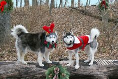 Even without snow, Siberian Huskies celebrate Christmas too!