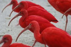 Our national bird, the Scarlet Ibis. This is such a beautiful photo!