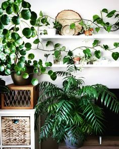 A big Pilea taking over