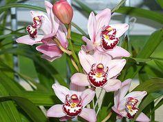Jak pěstovat orchideje: tentokrát Cymbidium neboli člunatec – Abecedazahrady.cz Pesto, Plants, Plant, Planets