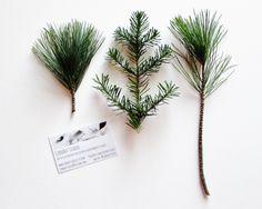 Season's Greetings.  Evergreens in winter.