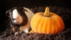 the inate fury of a guinea pig is released on all hallow's eve