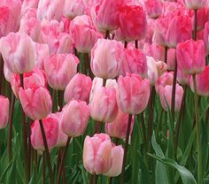 Tulip Gander's Rhapsody from White Flower Farm. We like this Triumph Tulip because its colors shift as the blooms age. They start deep pink with streaks of white. With time, the pink fades and the white becomes more pronounced. In a large planting of 'Gander's Rhapsody', you get blooms at both ends of the range and everywhere in between. The result is a lively and memorable display. Midseason bloom.