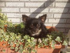 Gizmo Chihuahua   Pawshake Wervik